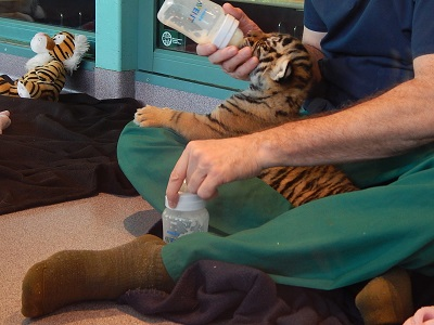 Twin Baby Tigers at Dreamworld13