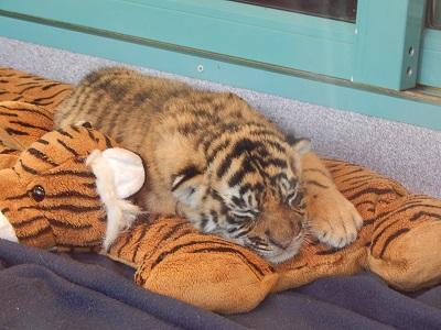 Twin Baby Tigers at Dreamworld16