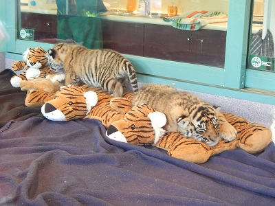 Twin Baby Tigers at Dreamworld3