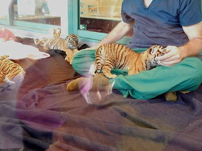 Twin Baby Tigers at Dreamworld4