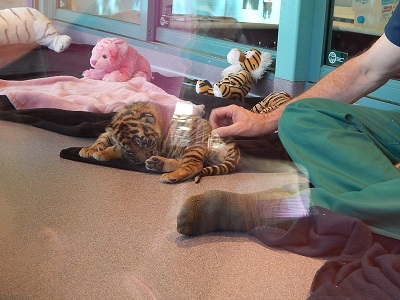 Twin Baby Tigers at Dreamworld6