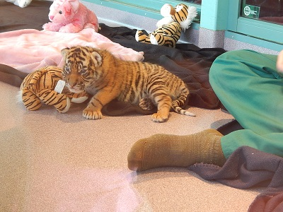 Twin Baby Tigers at Dreamworld8