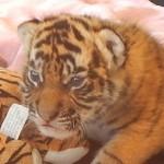 祝!オーストラリアドリームワールドのかわいいトラの赤ちゃん画像集
