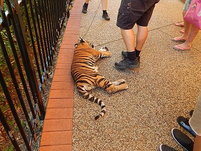 Tiger Cub at Dreamworld10