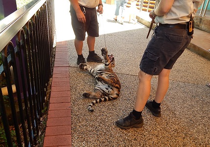 Tiger Cub at Dreamworld11