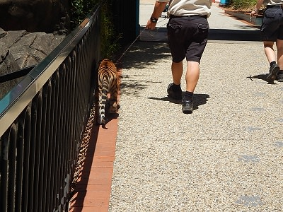 Tiger Cub at Dreamworld16