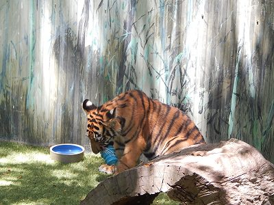 Tiger Cub at Dreamworld17