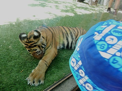 Tiger Cub at Dreamworld18