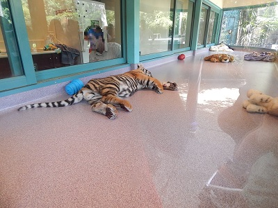 Tiger Cub at Dreamworld2