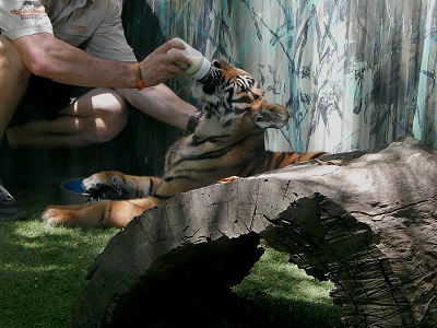 Tiger Cub at Dreamworld20