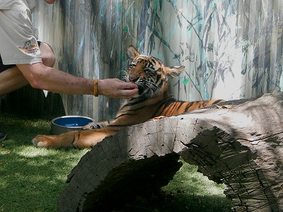 Tiger Cub at Dreamworld22