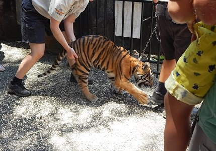 Tiger Cub at Dreamworld5