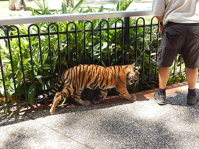 Tiger Cub at Dreamworld7