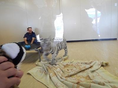 White Tiger Cubs11