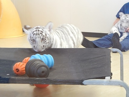 White Tiger Cubs13