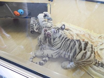 White Tiger Cubs15