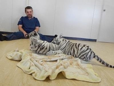 White Tiger Cubs17