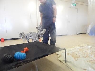 White Tiger Cubs7